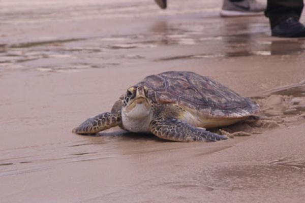 Rùa Biển khóc trước khi bị giết hại và câu chuyện đầy tình người